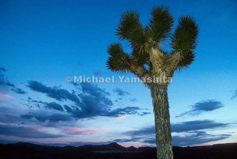 Joshua Trees, Route 95.Las Vegas, Nevada