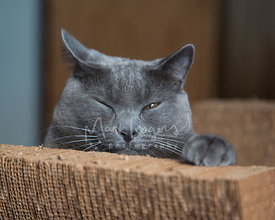 Grey Chartreux cat falling asleep