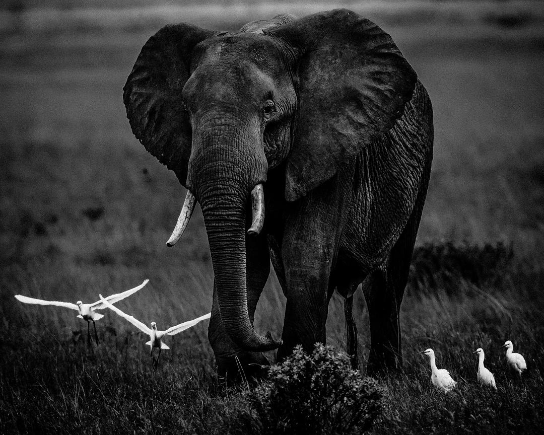 8707-Elephant_and_white_egrets_Tanzania_2007_Laurent_Baheux