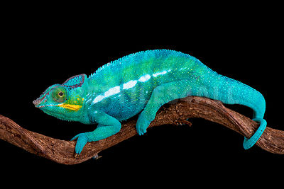 Panther chameleon / Furcifer pardalis photos