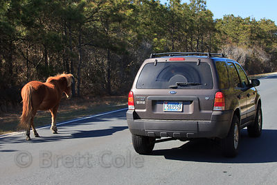 Wild horse (Equus ferus caballus) saunters alongside a car on Assateague Island, Maryland