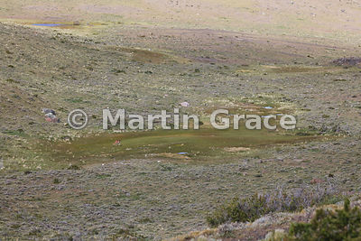 Grassy wet flush in Patagonian steppe with grazing Guanaco (Lama guanicoe), Region XII Magallanes y Antartica chilena, Chile