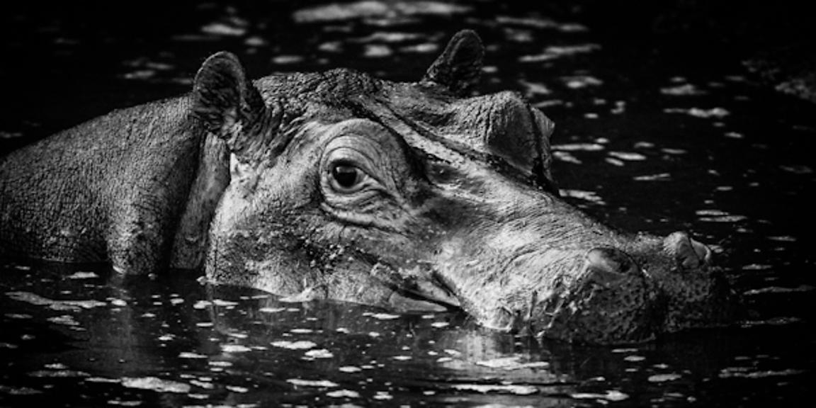 3425-Hippo_looking_at_you_Laurent_Baheux