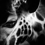 1496-Eye_of_giraffe_Kenya_2013_Laurent_Baheux