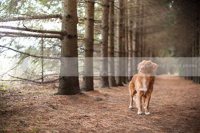 alert red duck toller dog standing in forest of pines