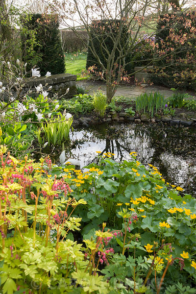 Pond with Dicentra spectabilis 'Gold Heart' and marsh marigolds, Caltha palustris, in the foreground, with primulas below an acer beyond. Summerdale House, Lupton, Cumbria, UK
