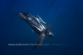 Luth sea Turtle in Nosy Be