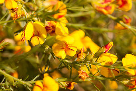 Showy Parrot pea flowers