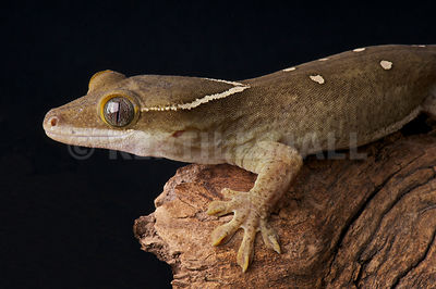 Roux's Giant Gecko (Correlophus sarasinorum) photos