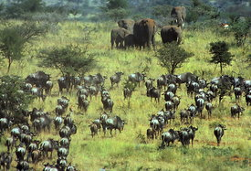 Wildebeeste & elephants