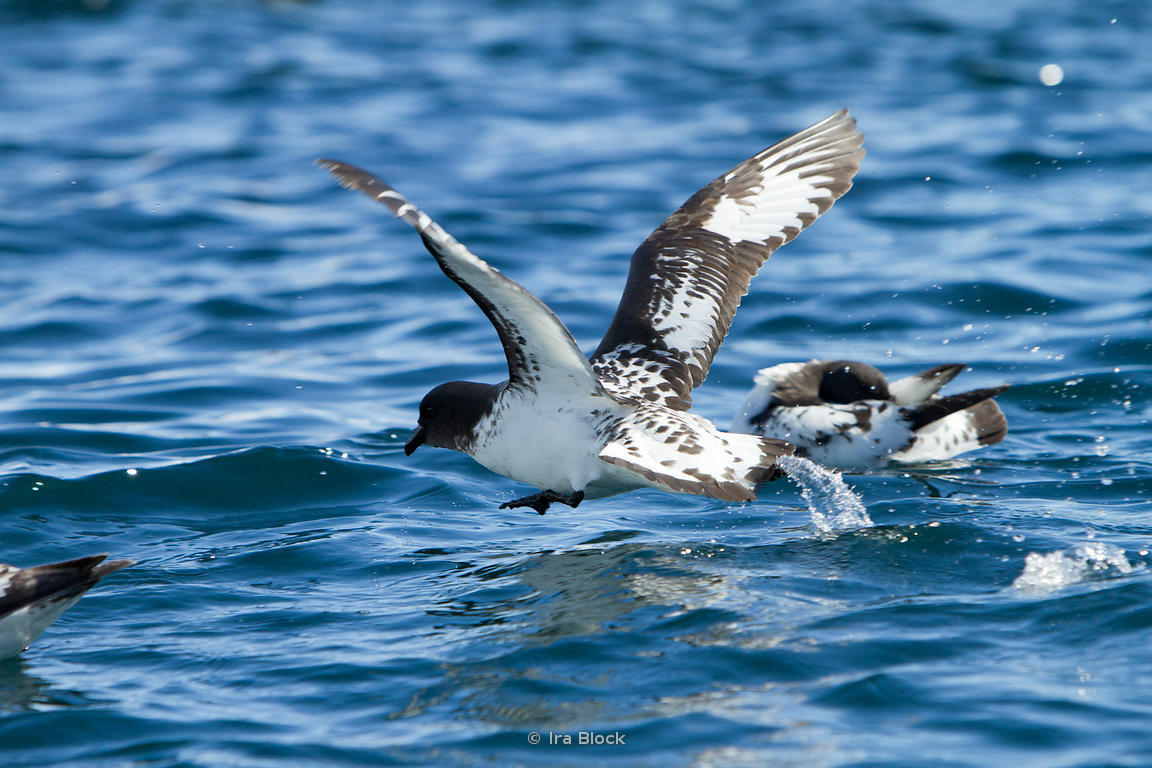 Cape petrels found on the ocean around the Antarctic Peninsula.