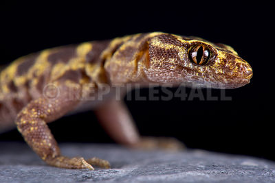 Granite night lizard (Xantusia henshawi )  photos