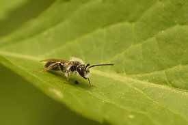 Andrena species, male