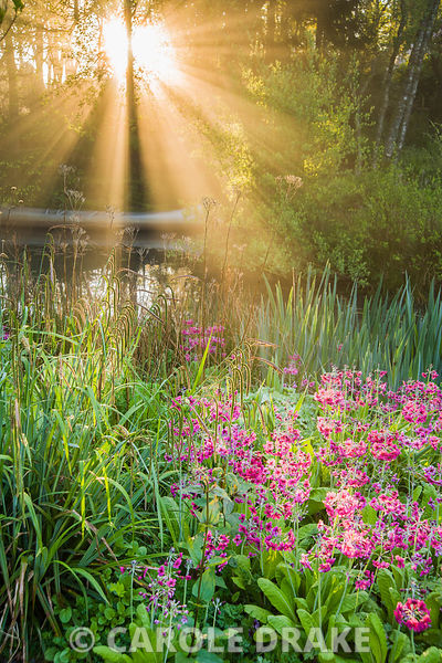 Dawn sunlight breaks through mist and trees above the pond with moored canoe, surrounded by magenta Primula pulverulenta, Carex pendula, ferns and irises. Windy Hall, Windermere, Cumbria, UK