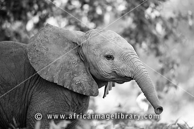 Baby Elephant Wallpaper Black And White Elephants