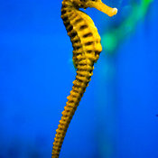 Seahorse with blue water, Manila Ocean Park, Luneta, Manila, Philippines