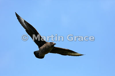 Great Skua (Bonxie) (Stercorarius skua, Catharacta skua) in flight, Hermaness National Nature Reserve, Unst, Shetland