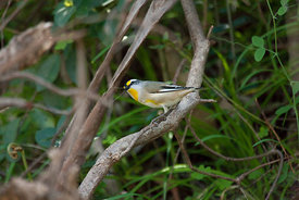 Striated Pardalote looking for food