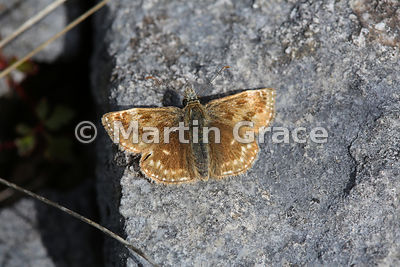 Dingy Skipper butterfly (Erynnis tages) on limestone, Cumbria, England