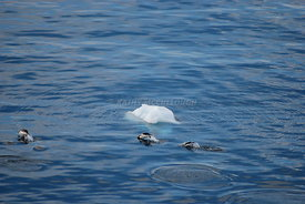 Antarctic icebergs and wildlife in Antarctica