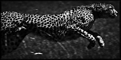 High Speed Cheetah 4, Kenya 2006 © Laurent Baheux