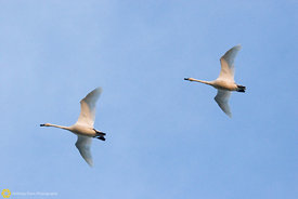 Tundra Swans in Flight #2