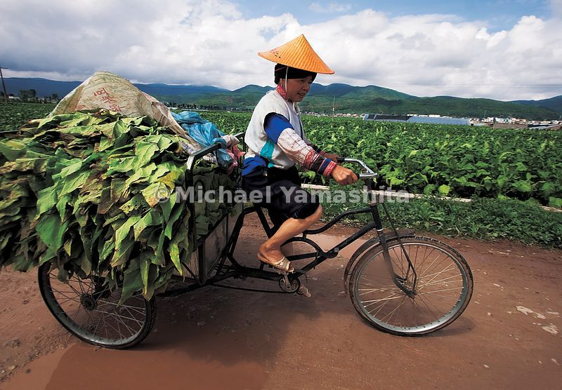 Tobacco, here drying on poles after harvesting is the major cash-crop, other than rice in Yunnan.