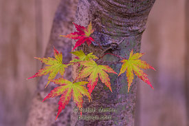 Maple leaves changing color in Fall, Los Altos, CA, USA