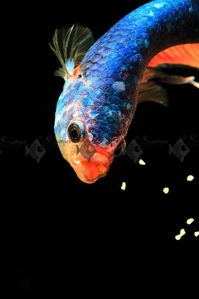 Streamlined sparkles blue aquatic fish photos for Biggest betta fish