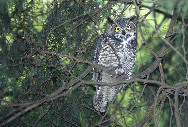 Great Horned Owls photos
