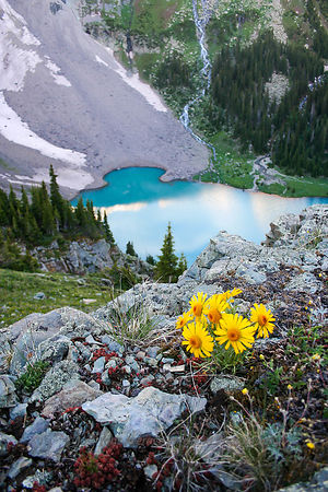 Blue Lake Sunflower
