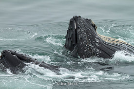 Lunge-feeding humpback whales outside of Charcot Bay.