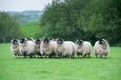 Pedigree Dalesbred yearling rams in wool. Yorkshire, UK