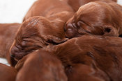Three day old Irish Setter puppies