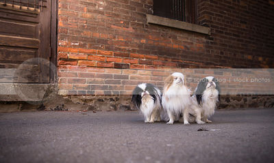 pack of three little japanese chin dogs at urban brick wall