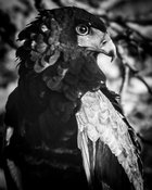 4377-Bird-Eagle_Laurent_Baheux