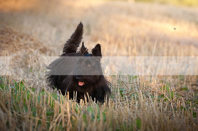short black scottish terrier dog walking in field of cut wheat crop