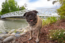 Smiling pug on river bank with bridge in background