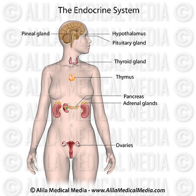 The endocrine system (female)