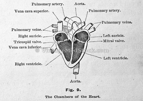 The chambers of the heart.