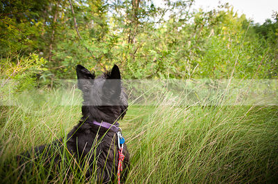 black dog from behind looking skyward in grasses with trees