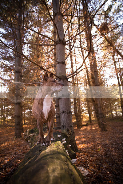 brindle pitbull perched on long in sunlit forest