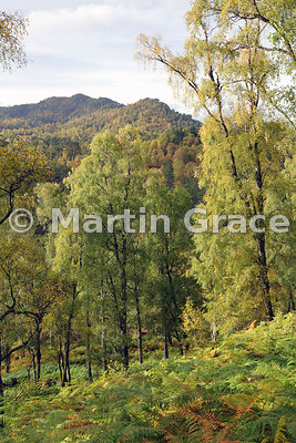 Birch (predominantly Silver Birch - Betula pendula) above the River Affric, Glen Affric, Scottish Highlands