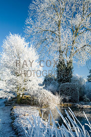 Frosted Nothofagus antarctica (Antarctic beech) by pond