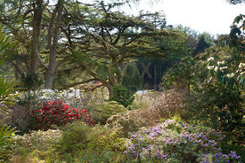 View across lower area of garden featuring Rhododendrons and Cedar