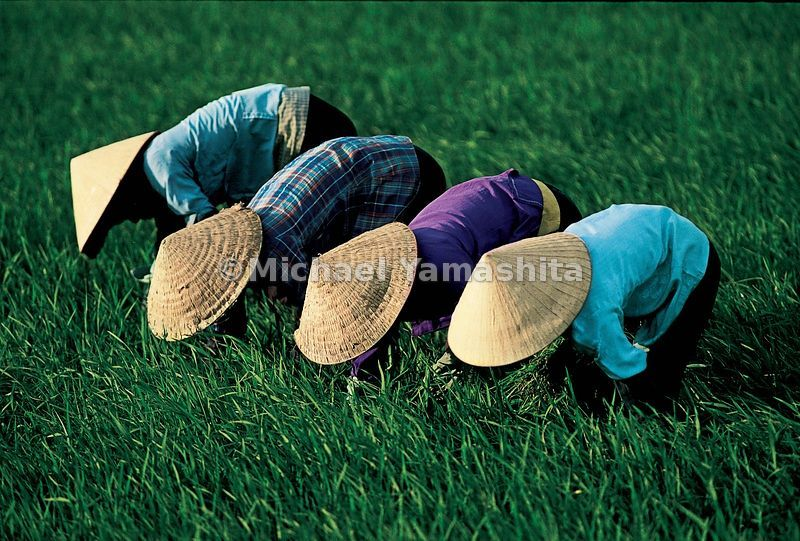 Rice requires constant tending. In Vietnam, family members work in teams to do the tedious job of weeding.