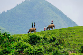 Looking After Buffalo on Terraced Rice Hillside