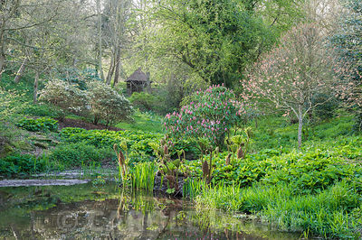 Pond in the valley garden with rhododendron, gunnera and the new pink leaves of Acer pseudoplatanus 'Brilliantissimum'. Brilley Court Farm, Whitney-on-Wye, Herefordshire, UK