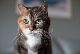 close-up of calico mix cat with green eyes