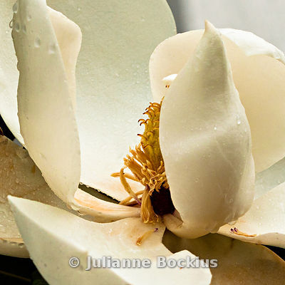 White Magnolia with Raindrops